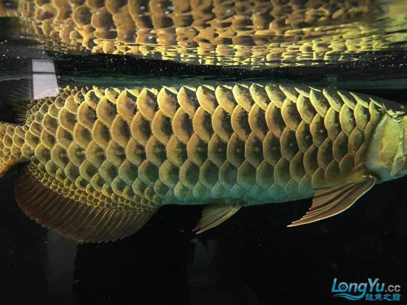好久没发记录贴了金质越来越厚重了 西安观赏鱼信息 西安博特第7张
