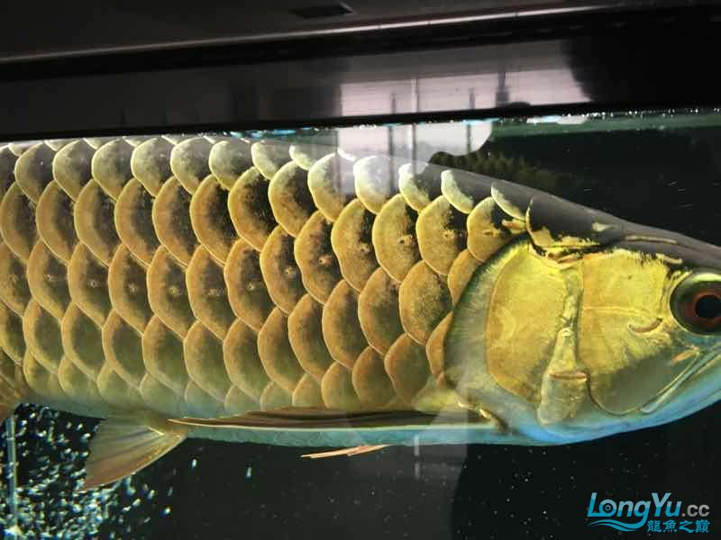 好久没发记录贴了金质越来越厚重了 西安观赏鱼信息 西安博特第9张