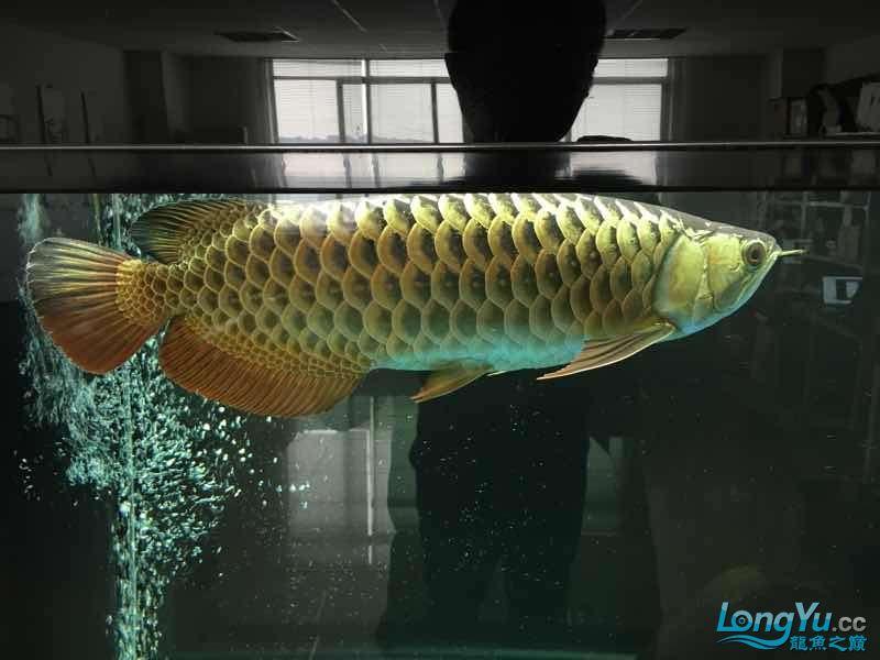 好久没发记录贴了金质越来越厚重了 西安观赏鱼信息 西安博特第6张