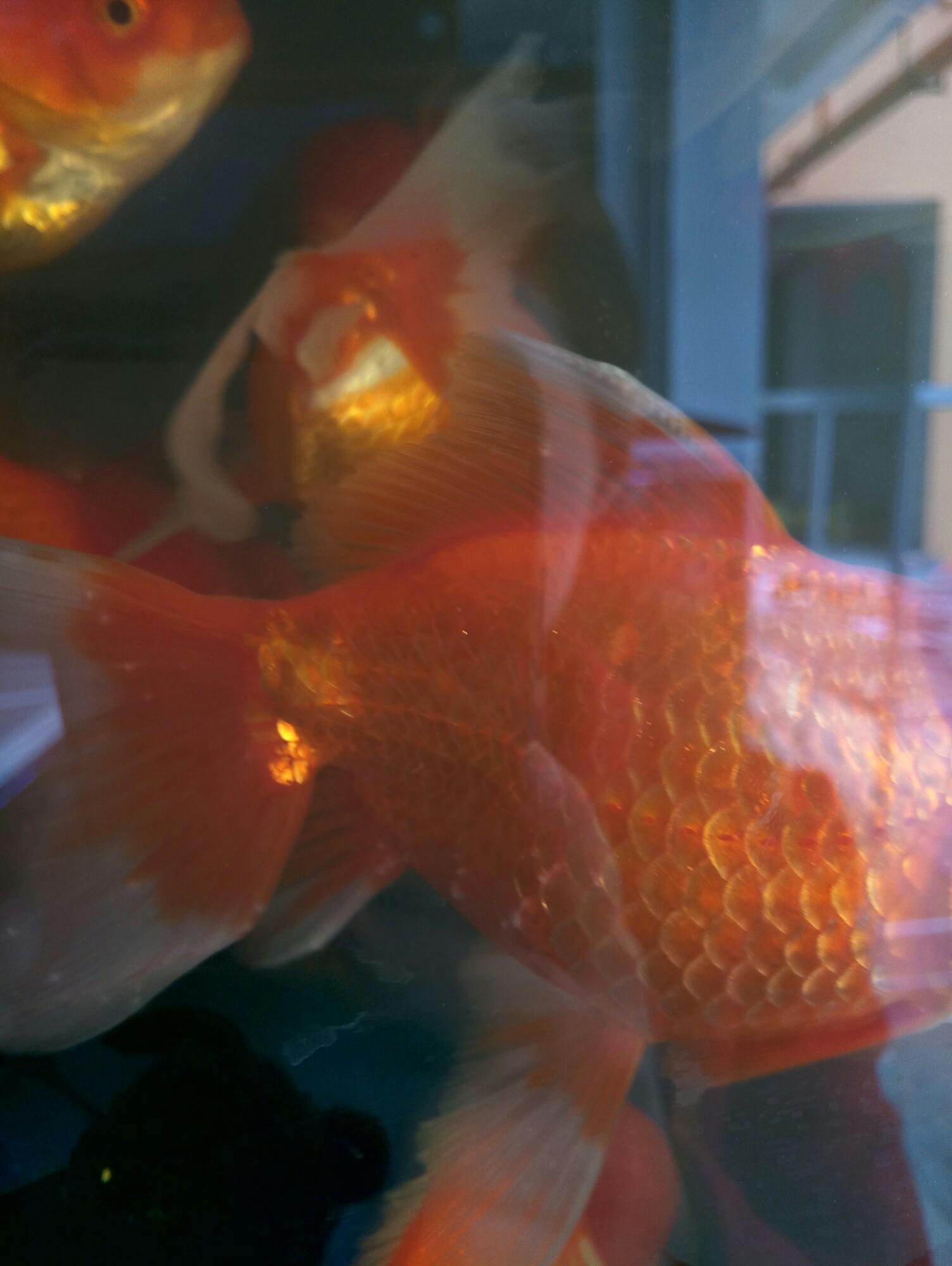 金鱼怎么了 西安龙鱼论坛 西安博特第1张