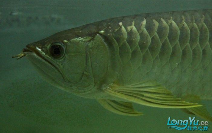 2011年1月16日高品质高背金龙B过[已售长沙鱼友] 西安观赏鱼信息 西安博特第5张