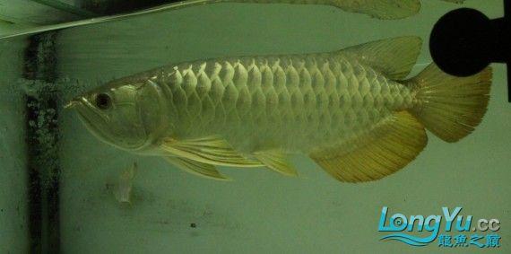 2011年1月16日高品质高背金龙B过[已售长沙鱼友] 西安观赏鱼信息 西安博特第3张