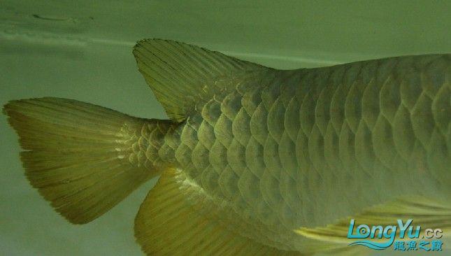 2011年1月16日高品质高背金龙B过[已售长沙鱼友] 西安观赏鱼信息 西安博特第4张