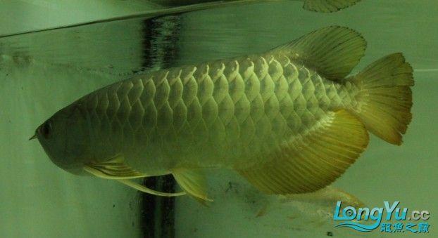 2011年1月16日高品质高背金龙B过[已售长沙鱼友] 西安观赏鱼信息 西安博特第2张