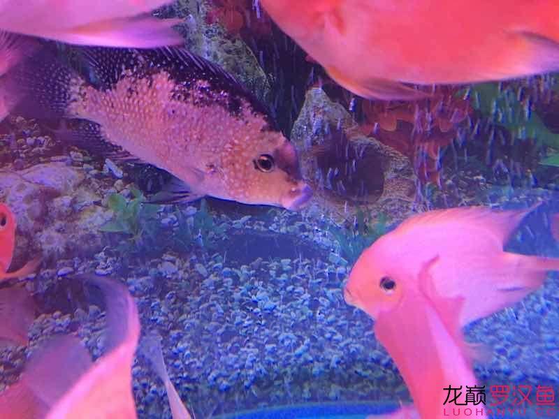 请帮忙【西安慈鲷大全】诊断一下 西安龙鱼论坛 西安博特第2张