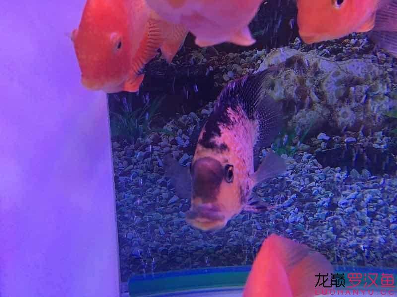 请帮忙【西安慈鲷大全】诊断一下 西安龙鱼论坛 西安博特第1张