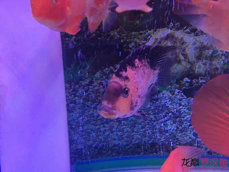 请帮忙【西安慈鲷大全】诊断一下 西安龙鱼论坛 西安博特第3张