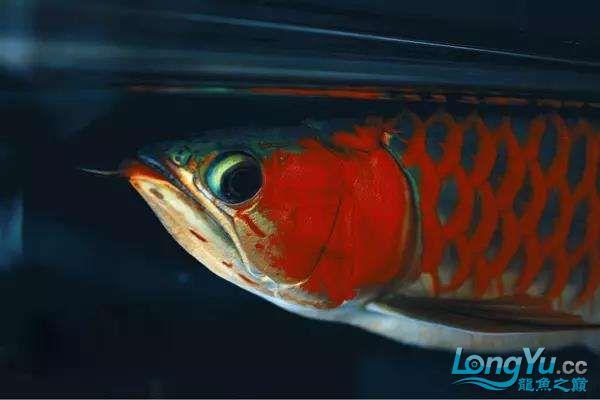 被这颜值迷住又骗我买鱼 西安观赏鱼信息 西安博特第6张