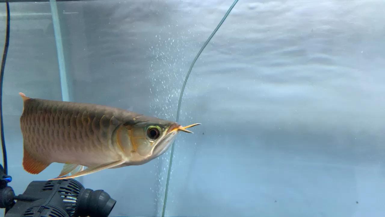 还是单养舒心【西安女王大帆】 西安观赏鱼信息 西安博特第1张