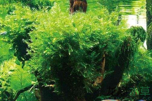 西安罗汉鱼各位草友大神们这又是什么草粘在沉木顶上的那个