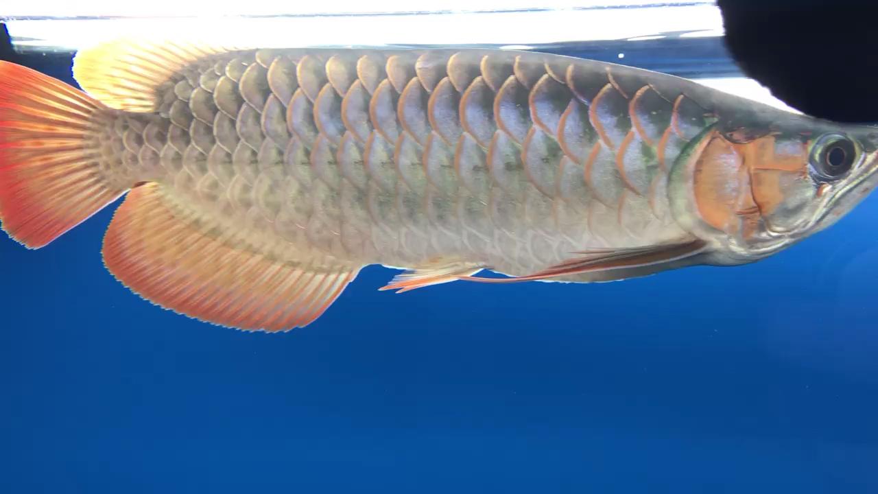 西安观赏鱼缸定制日常晒鱼龙鱼龙巅