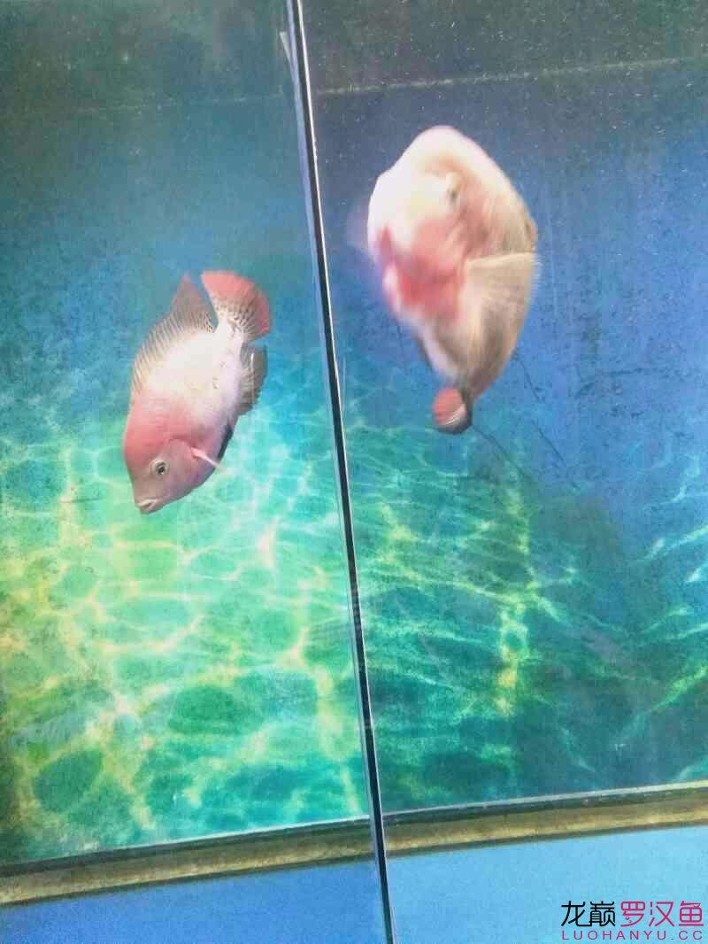 发下我的两个鱼西安亚克力水族箱 西安龙鱼论坛 西安博特第3张