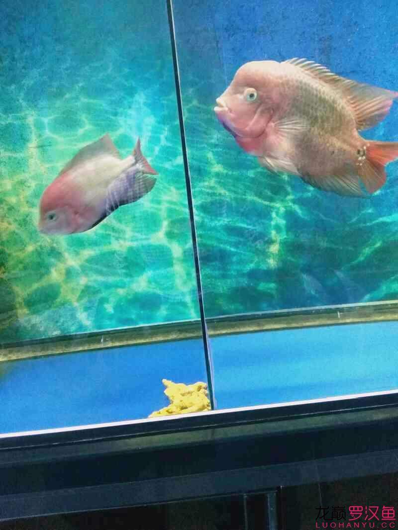 发下我的两个鱼西安亚克力水族箱 西安龙鱼论坛 西安博特第4张