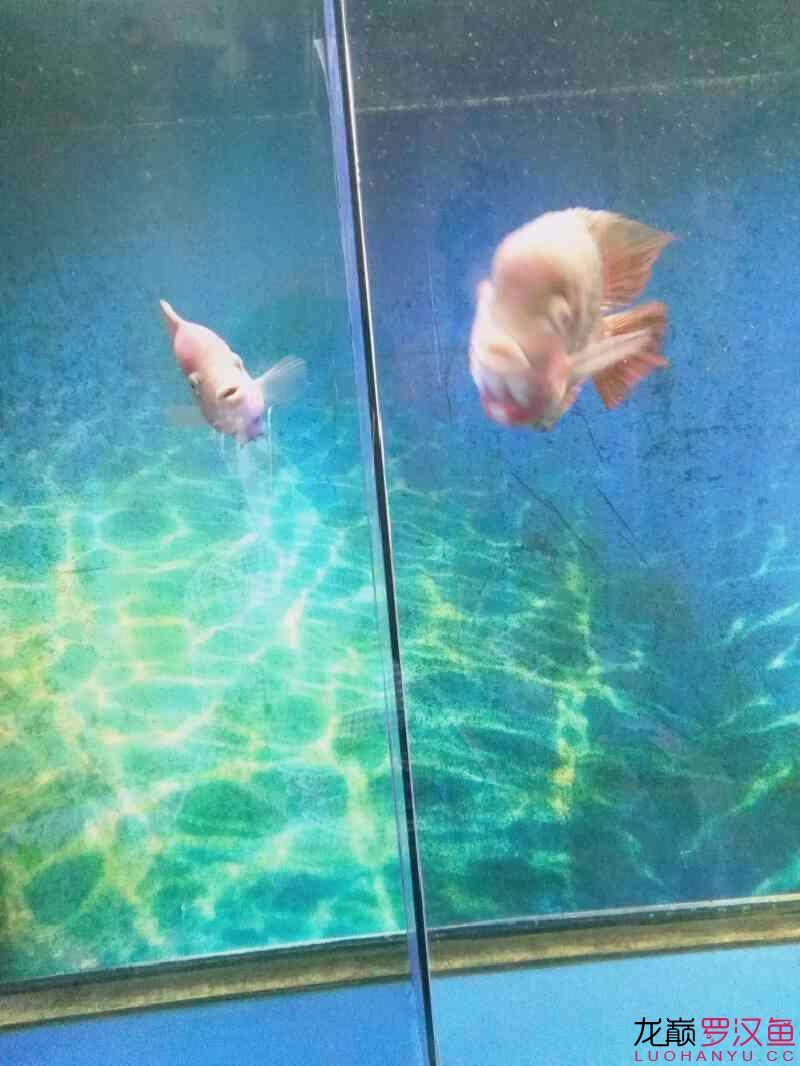 发下我的两个鱼西安亚克力水族箱 西安龙鱼论坛 西安博特第6张