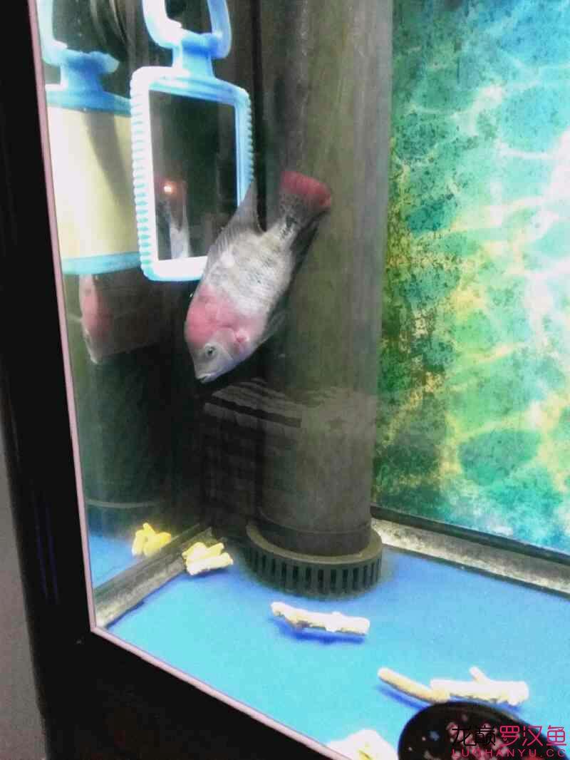 发下我的两个鱼西安亚克力水族箱 西安龙鱼论坛 西安博特第5张