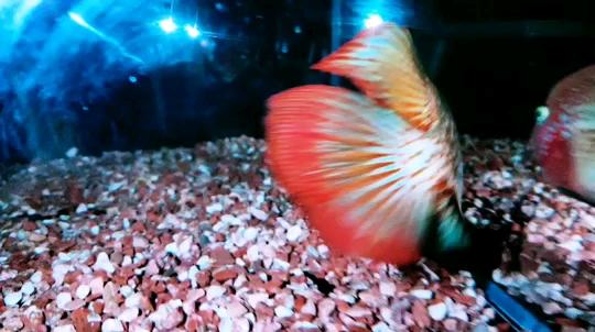 西安魟鱼价格表都拿手电筒照鱼录视频我也试试 西安龙鱼论坛
