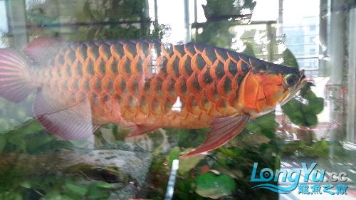 白灯养红龙你有么 西安观赏鱼信息 西安博特第2张