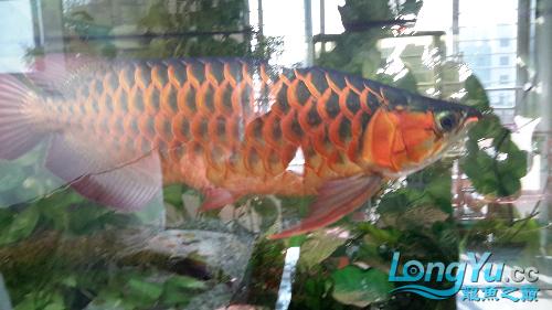 白灯养红龙你有么 西安观赏鱼信息 西安博特第6张