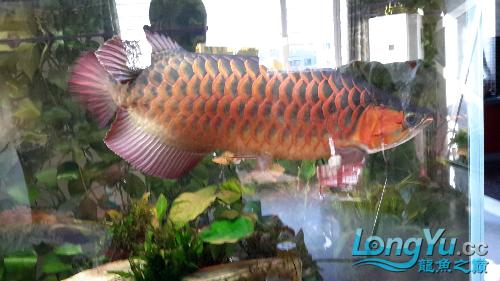 白灯养红龙你有么 西安观赏鱼信息 西安博特第7张