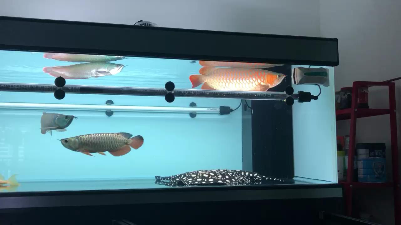 换换自来水神仙鱼龙巅 西安观赏鱼信息 西安博特第1张