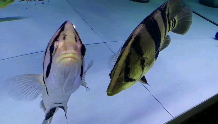 你真虎西安鱼缸过滤龙鱼龙巅 西安观赏鱼信息 西安博特第1张