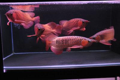 开饭咯魟鱼罗汉鱼常见疾病 西安龙鱼论坛 西安博特第2张