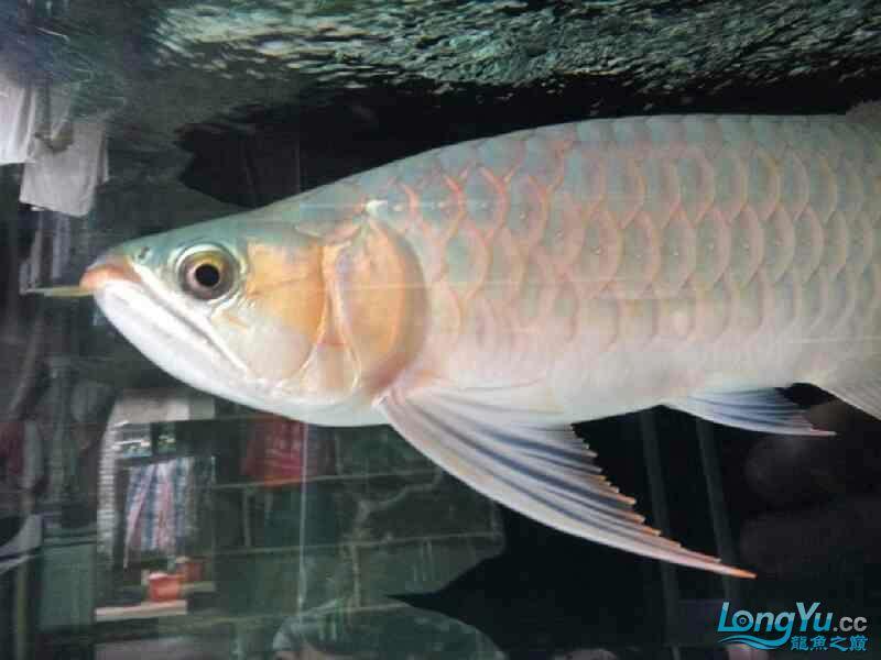 唉图怎么上西安黑桃a鱼为什么配龙鱼不了 西安观赏鱼信息 西安博特第2张