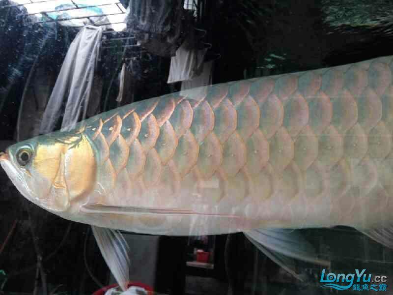 唉图怎么上西安黑桃a鱼为什么配龙鱼不了 西安观赏鱼信息 西安博特第3张