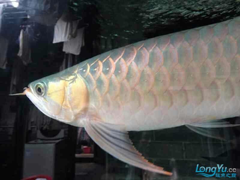唉图怎么上西安黑桃a鱼为什么配龙鱼不了 西安观赏鱼信息 西安博特第1张