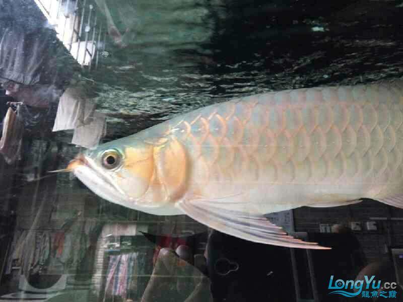 唉图怎么上西安黑桃a鱼为什么配龙鱼不了 西安观赏鱼信息 西安博特第6张