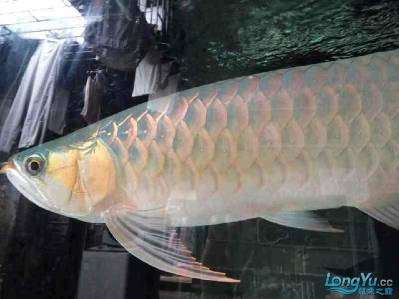 唉图怎么上西安黑桃a鱼为什么配龙鱼不了 西安观赏鱼信息 西安博特第4张