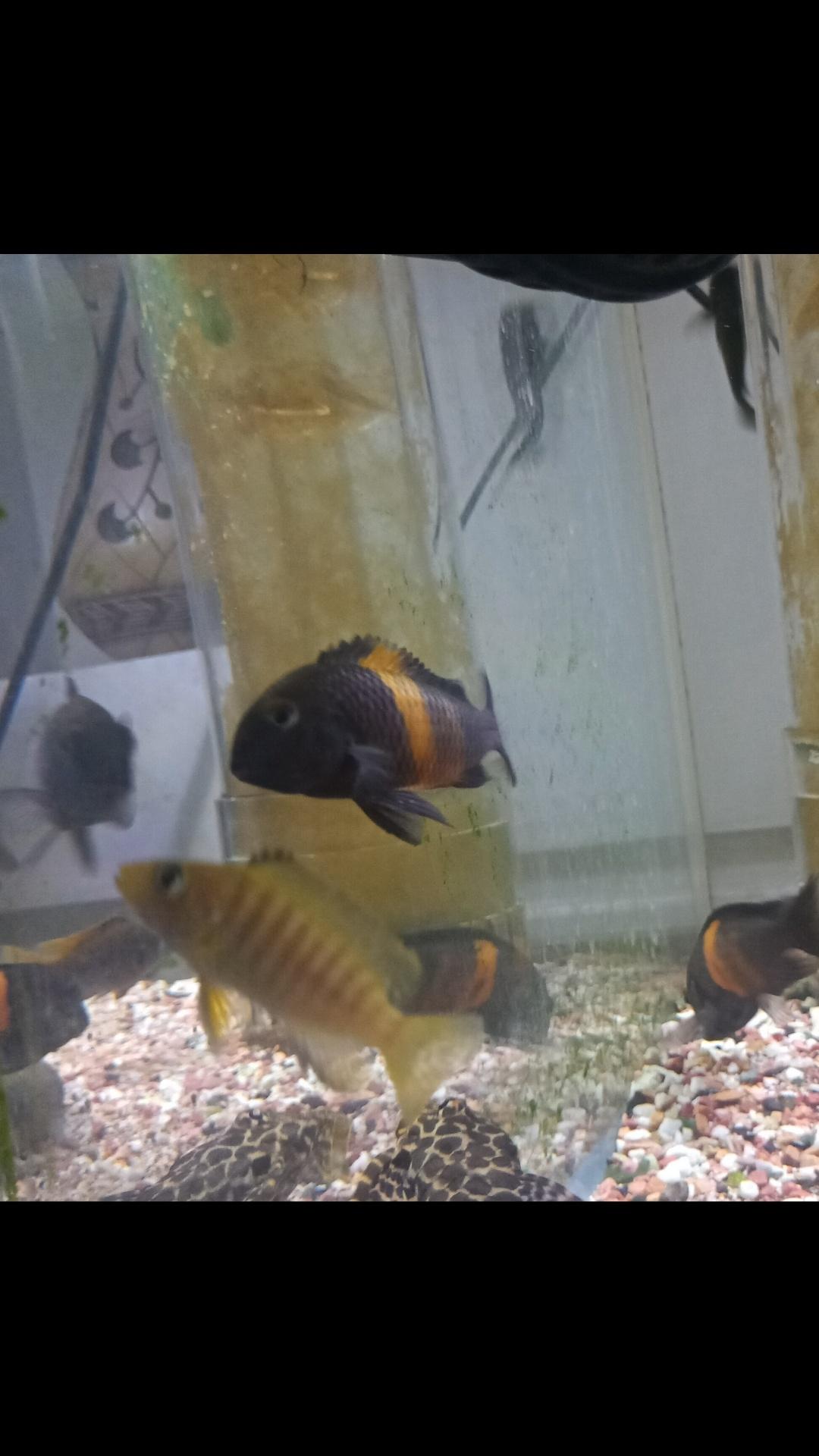 三湖慈鲷蝴蝶金间双星等等一堆 西安观赏鱼信息 西安博特第2张