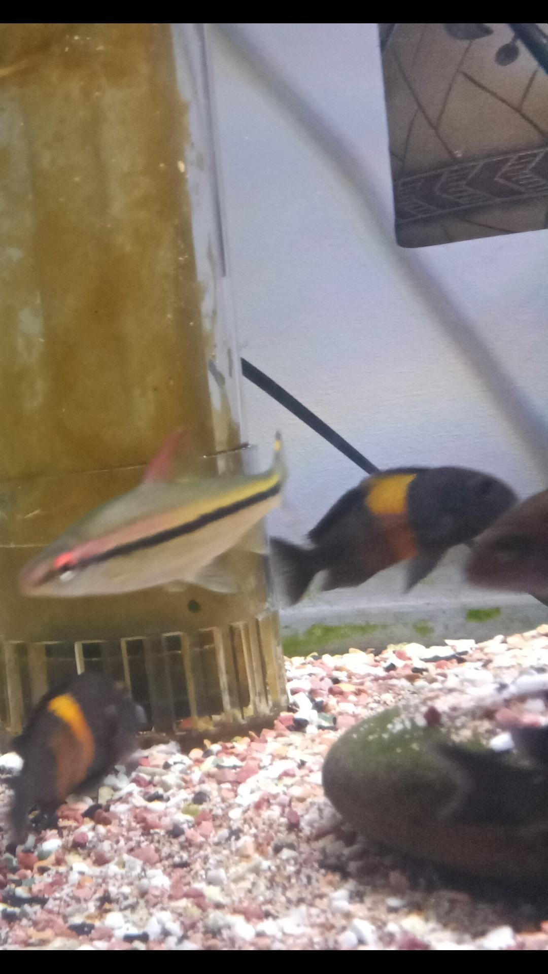 三湖慈鲷蝴蝶金间双星等等一堆 西安观赏鱼信息 西安博特第1张