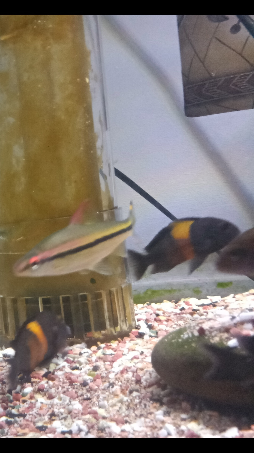 三湖慈鲷蝴蝶金间双星等等一堆 西安观赏鱼信息 西安博特第3张