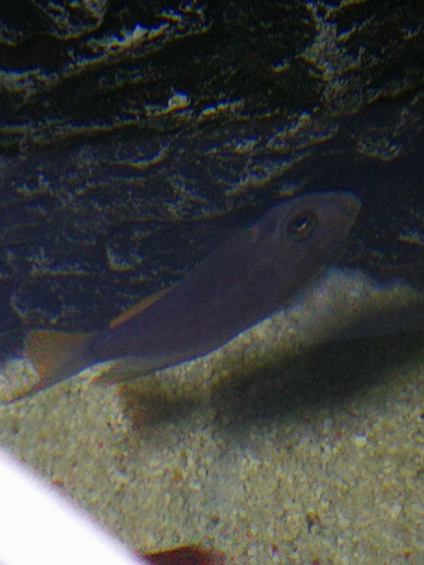 【西安观赏鱼批发】买的杂鲷但不认识有人知道这是什么鱼吗 西安龙鱼论坛 西安博特第2张