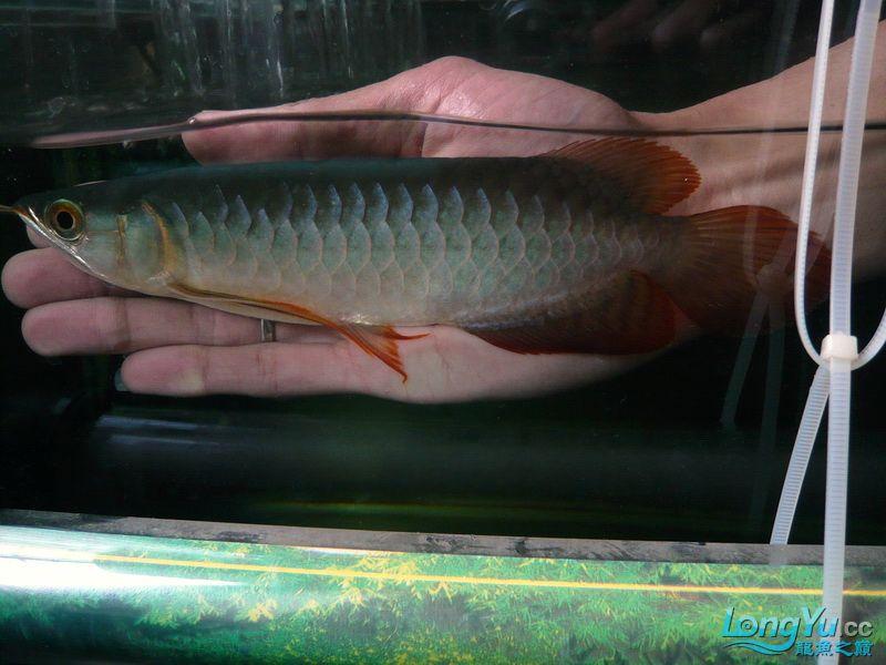 留给身边西安银龙鱼苗怎么养好友的顶级幼龙 西安观赏鱼信息 西安博特第4张