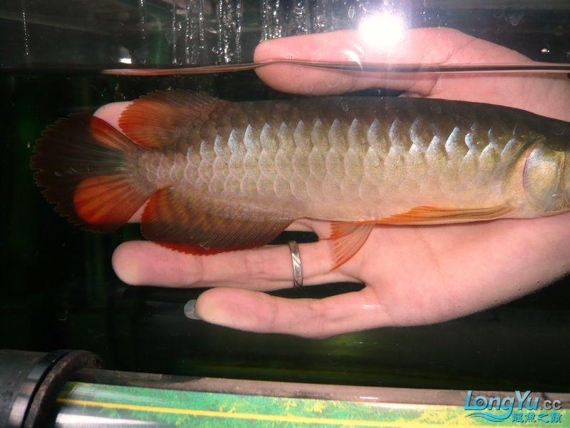 留给身边西安银龙鱼苗怎么养好友的顶级幼龙 西安观赏鱼信息 西安博特第3张