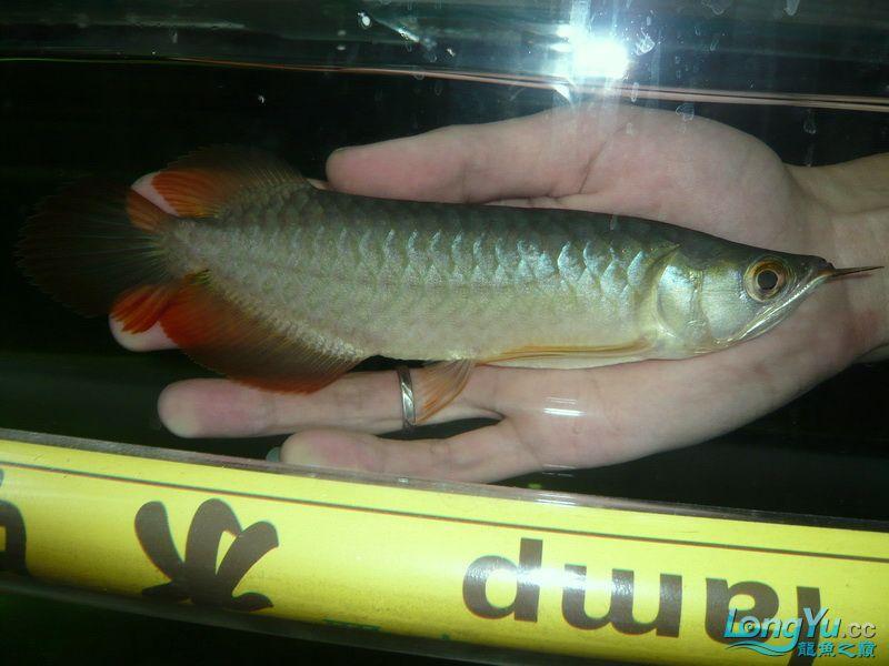 留给身边西安银龙鱼苗怎么养好友的顶级幼龙 西安观赏鱼信息 西安博特第5张