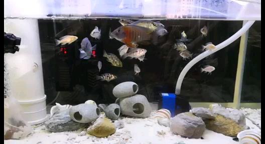 蓝茉西安皇冠黑白魟鱼的好坏莉还是会偶尔蹭一下缸 西安观赏鱼信息