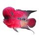 罗汉鱼价位排行榜 西安观赏鱼信息 西安博特第3张
