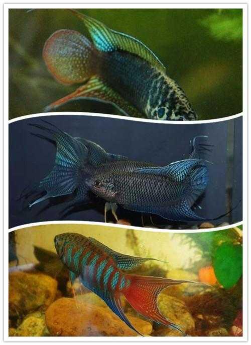 西安白化九角龙鱼批发市场整理:9种适合新手饲养的小型观赏鱼! 西安观赏鱼信息 西安博特第2张