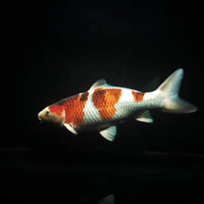 夜晚属于自己的时间赏鱼 西安龙鱼论坛 西安博特第1张