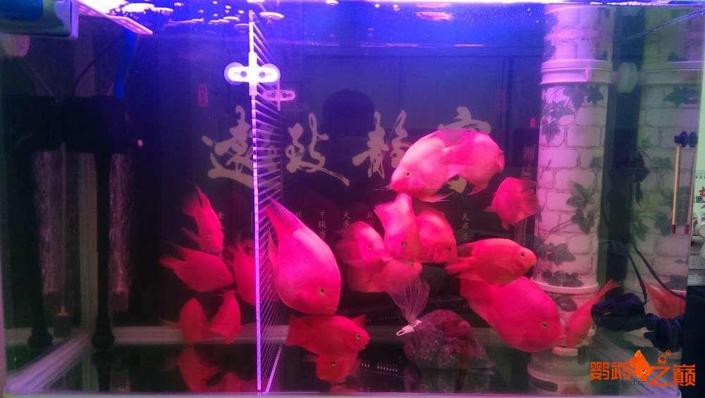 血西安罗汉鱼本买下6条台湾开心渔场噶玛兰红财神晒晒小靓照持 西安观赏鱼信息 西安博特第1张