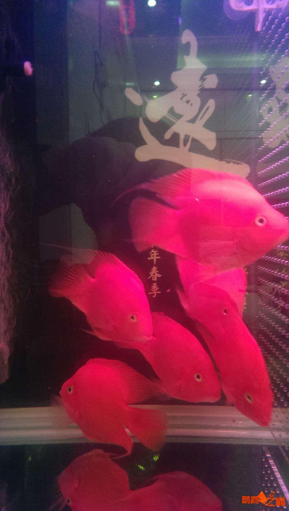 血西安罗汉鱼本买下6条台湾开心渔场噶玛兰红财神晒晒小靓照持 西安观赏鱼信息 西安博特第5张