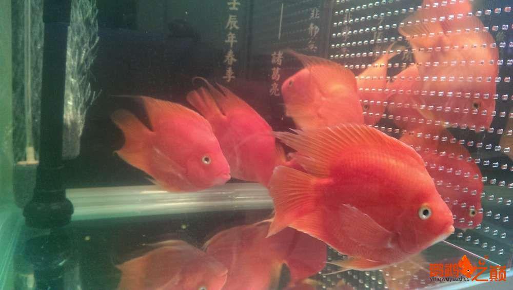 血西安罗汉鱼本买下6条台湾开心渔场噶玛兰红财神晒晒小靓照持 西安观赏鱼信息 西安博特第4张
