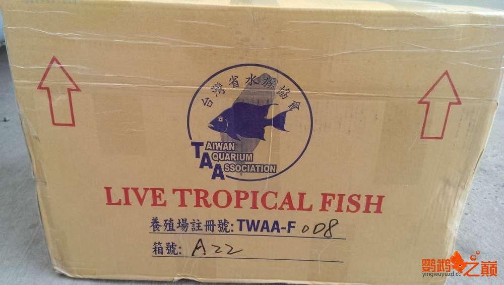 血西安罗汉鱼本买下6条台湾开心渔场噶玛兰红财神晒晒小靓照持 西安观赏鱼信息 西安博特第7张