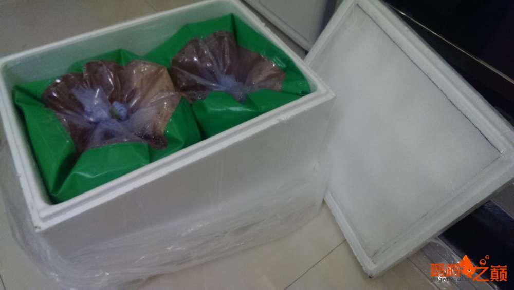 血西安罗汉鱼本买下6条台湾开心渔场噶玛兰红财神晒晒小靓照持 西安观赏鱼信息 西安博特第8张