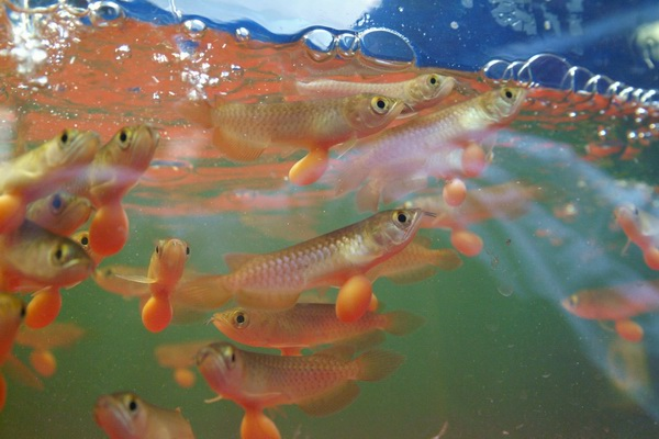 鹦鹉鱼混养新手篇 西安龙鱼论坛