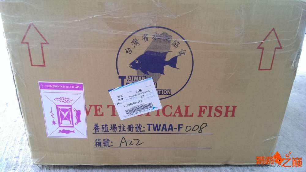血西安罗汉鱼本买下6条台湾开心渔场噶玛兰红财神晒晒小靓照持 西安观赏鱼信息 西安博特第14张