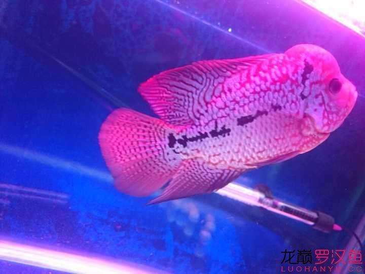 养罗日记聆听—舒克 西安观赏鱼信息 西安博特第12张